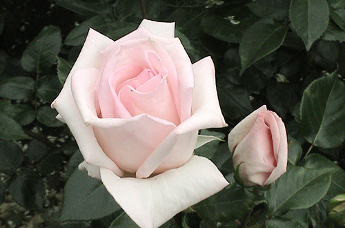 what is rose fragrance classification of fragrance